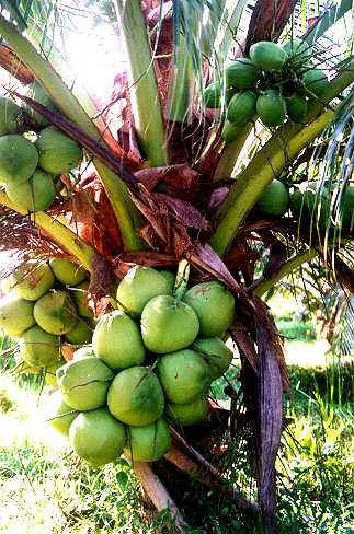 kelapa-berbuah1-chepa.jpg