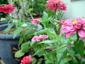 pink1dahlia